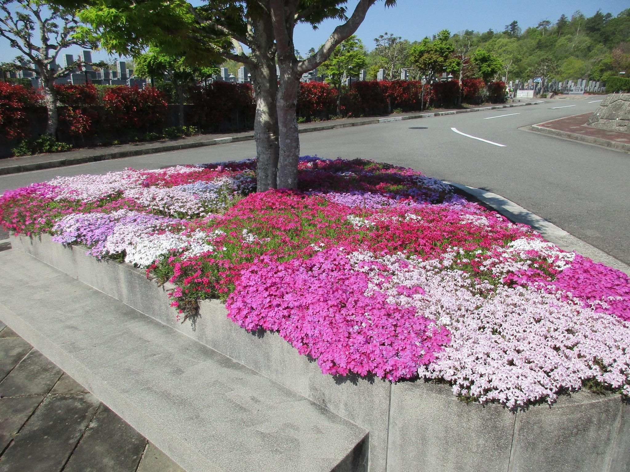川西大霊苑 平成30年 芝桜