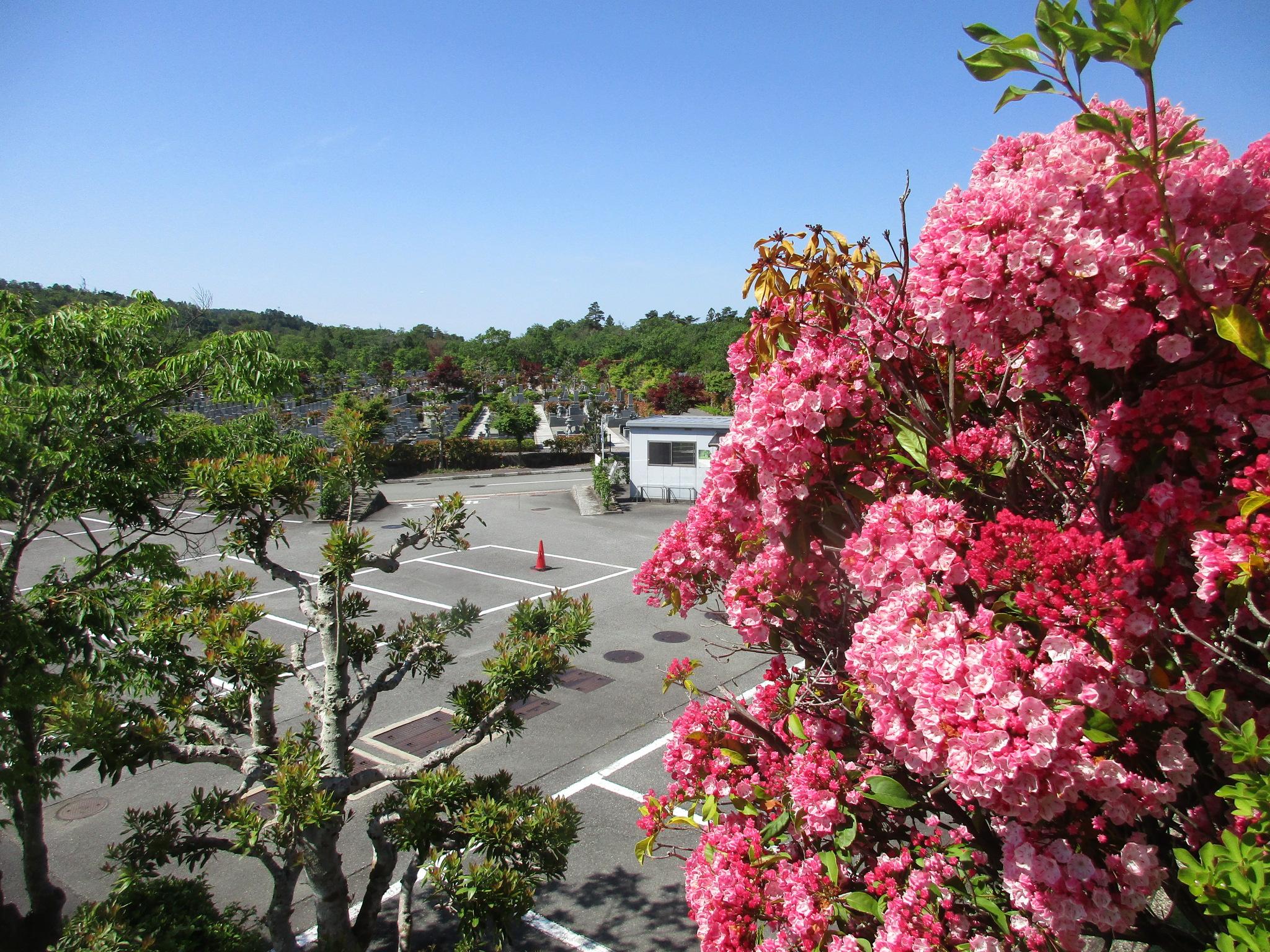 川西大霊苑 カルミアの花