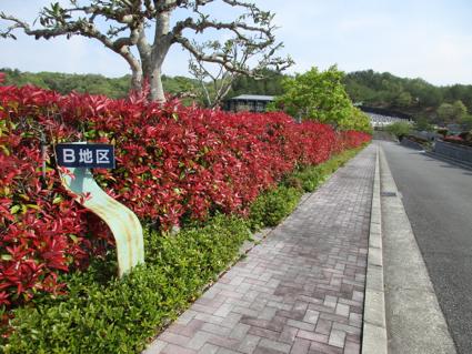 霊苑のカナメの葉が真っ赤に色づきました