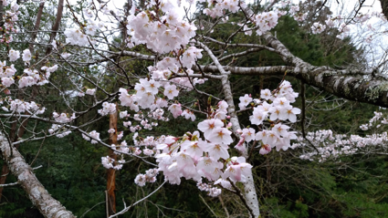 4月の上旬には桜が満開になります