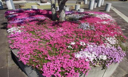 川西大霊園の芝桜の見頃は4月下旬です