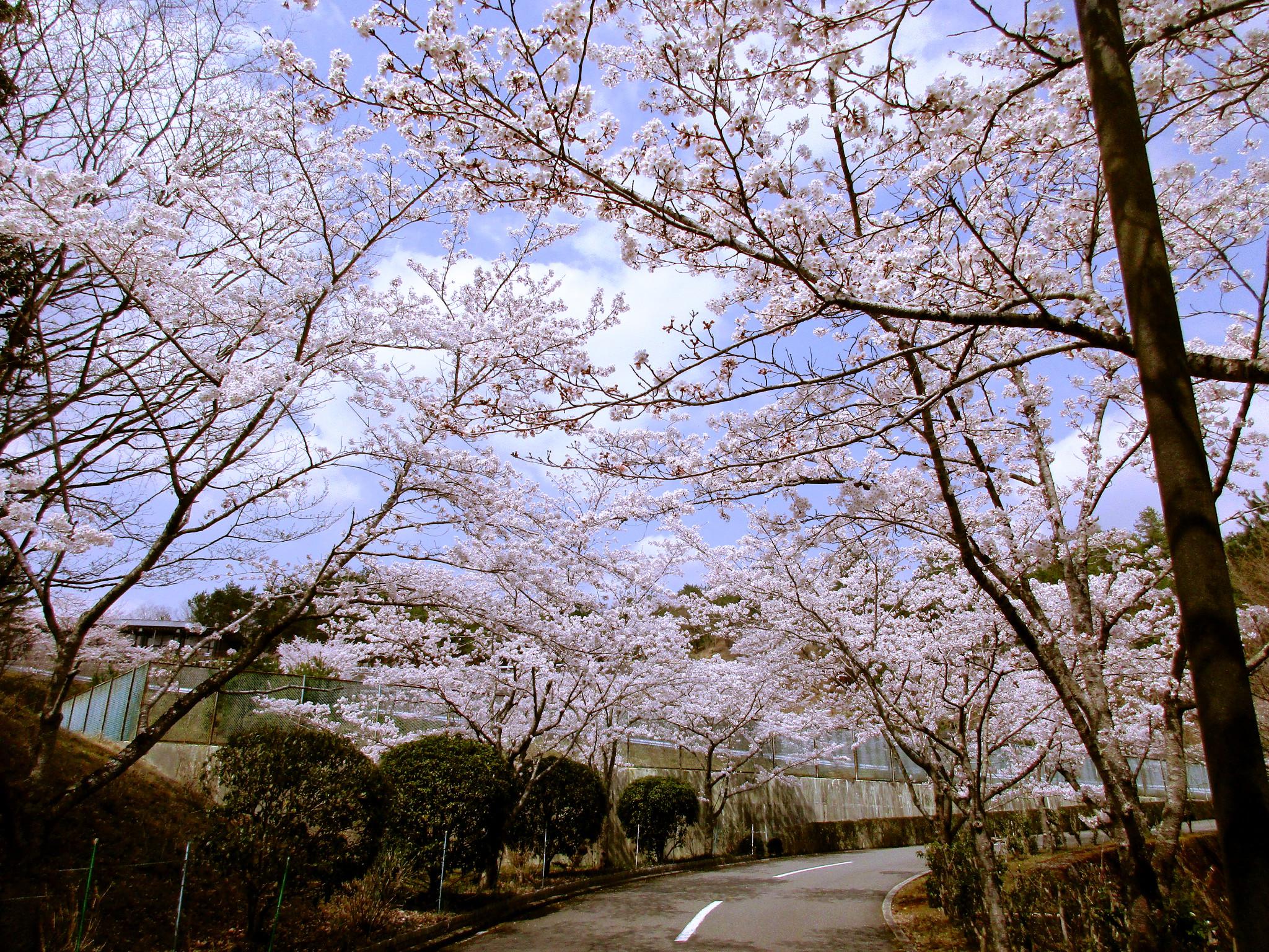 川西大霊苑 平成30年春 桜