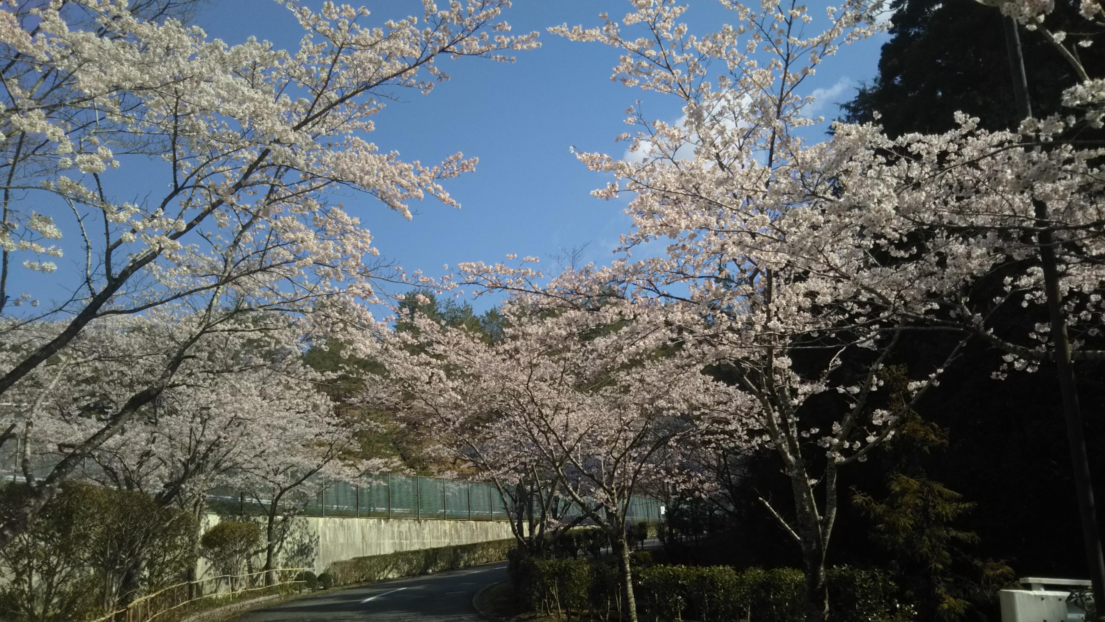 2019年 川西大霊苑 桜