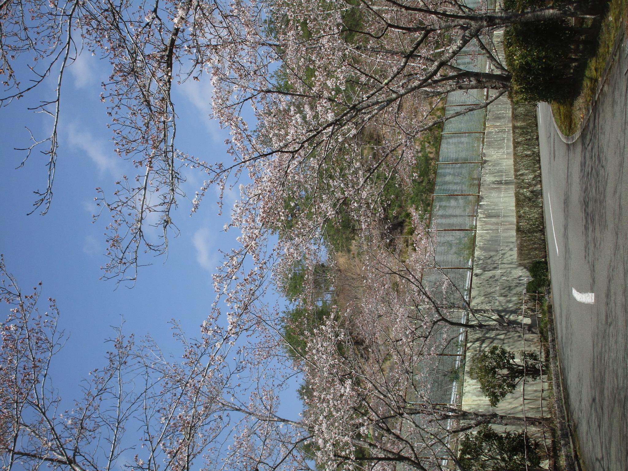 2021年春 桜の花が開花いたしました